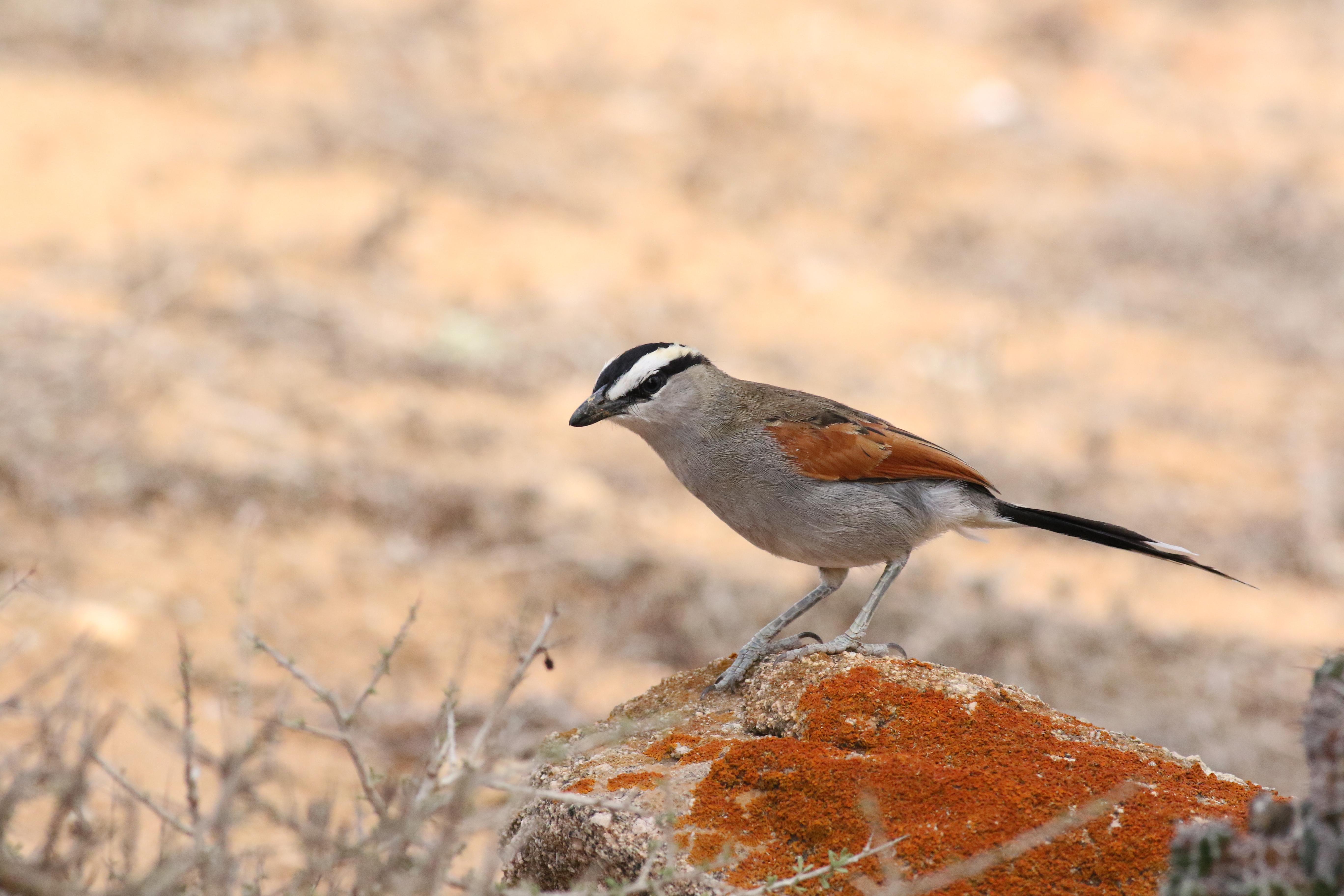 Birding in Morocco, resor till Marocko